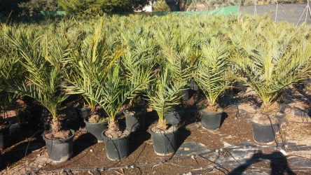 In Vitro Palms sold in 15 liter pots