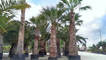 Washingtonia Filifera en maceta 1