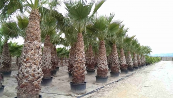 Washingtonia Filifera en maceta 2