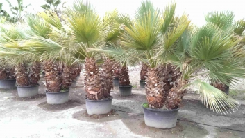 Washingtonia Filifera en maceta 3