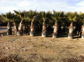 Washingtonia Filifera en maceta 4
