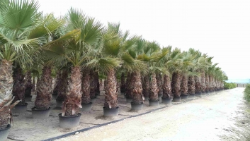 Washingtonia Filifera en maceta 5