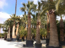 Washingtonia Filifera en maceta 6