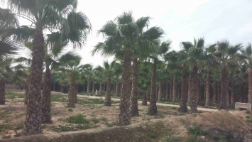 Washingtonia Robusta en cepellon 1