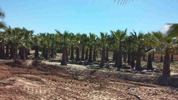 Washingtonia Robusta en cepellon 2