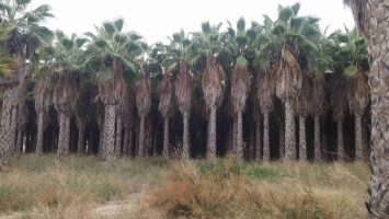 Washingtonia Robusta en cepellon 3
