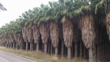 Washingtonia Robusta en cepellon 4