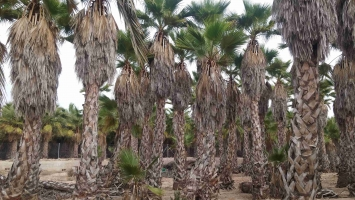 Washingtonia Robusta en cepellon 5