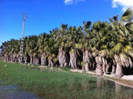 Washingtonia Robusta en cepellon 6