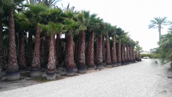 Washingtonia Robusta en maceta 1