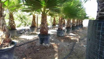 Washingtonia Robusta en maceta 2