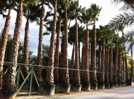 Washingtonia Robusta en maceta 3