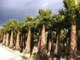 Washingtonia Robusta en maceta 4