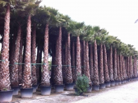 Washingtonia Robusta en maceta 5