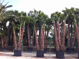 Washingtonia Robusta en maceta 6